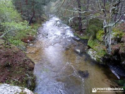 Tejos Milenarios de Valhondillo -Tejos de Rascafría - excursiones desde madrid de un dia;viaje send